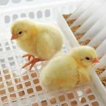 HatchCare Automation Improving animal welfare